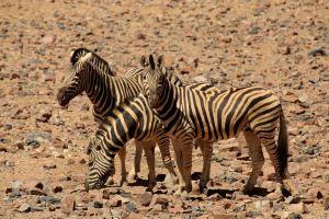 Desert zebras in Namibrand