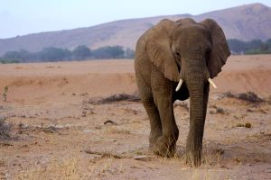 One of the desert-adapted elephants in Damaraland