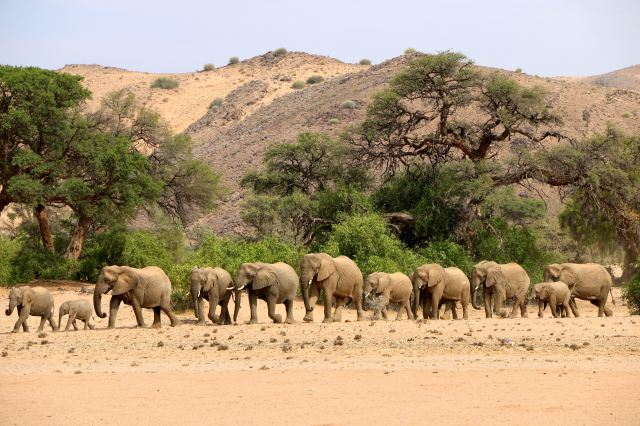 The elephants troop in a line to the waterhole