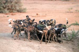 Sharing our evening meal with that being enjoyed by a pack of wild dogs!