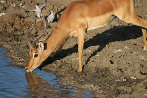 Antelope at the waterhole