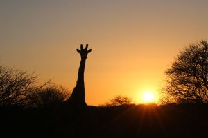 Giraffe in the sunset at Erindi