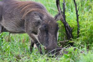Warthog finding a bit of greenery