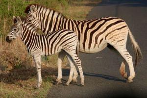 A literal zebra crossing