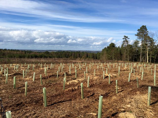 The Foster christmas tree plantation on Winterfold Heath - need to wait a bit now!