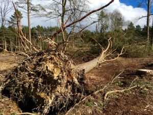 A tree felled by Storm Katie on Winterfold Heath
