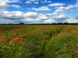 A Surrey poppy field that made me think of the battlefields of France in WW1